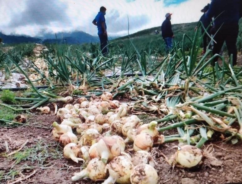 La cosecha de cebolla comenzó en los sectores de Los Llanos de Paso Ancho, Alto Los Guerras y Finca Borac, en el distrito de Tierras  Altas. Foto: José Vásquez