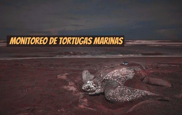 El transmisor satelital se coloca a las tortugas marinas hembras. Foto: @benjhicks