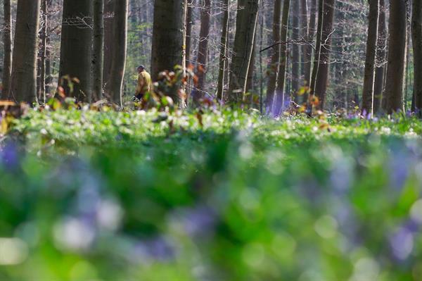 Un hombre pasea por un bosque cerca de Bruselas. Foto: EFE