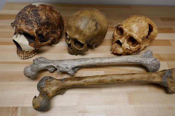 Imagen de fósiles del género Homo cedida por Manuel Will, de la Universidad de Tubinga. EFE