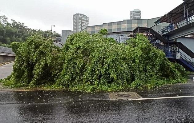 El fuerte viento ocasionó la caída de árboles. Foto: Cortesía Tráfico Panamá