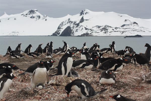 Colonia de pingüinos papúa (