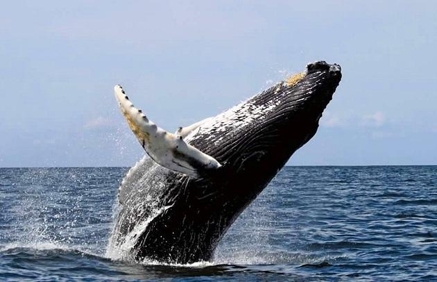 Avistamiento de una ballena jorobada en Panamá.
