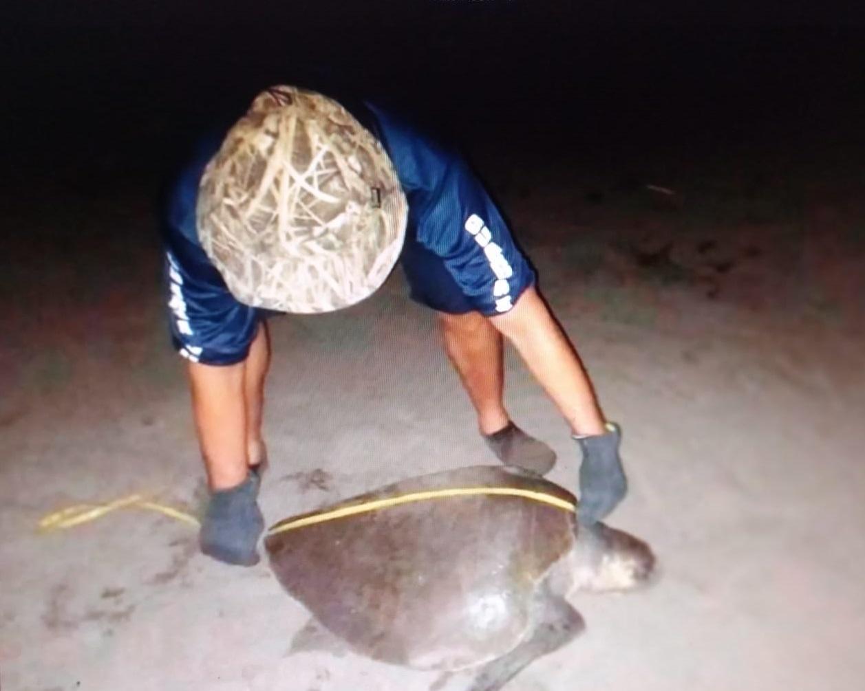 Playa La Marinera es un sitio preferido por esta especie de tortuga para desovar y anidar. Foto:Thays Domínguez