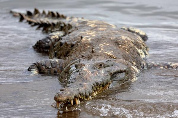 El cocodrilo fue capturado en la comunidad de El Salado en Aguadulce.