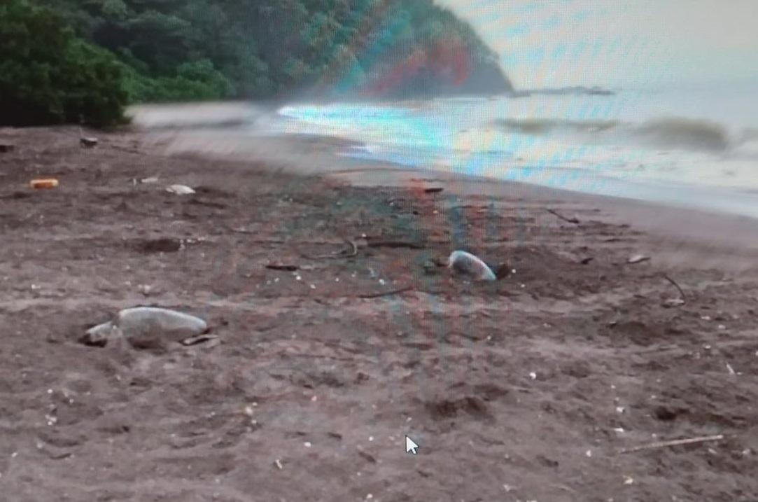 Las tortugas llegan  a desovar en estas cálidas y tranquilas aguas santeñas. Foto:Thays Domínguez