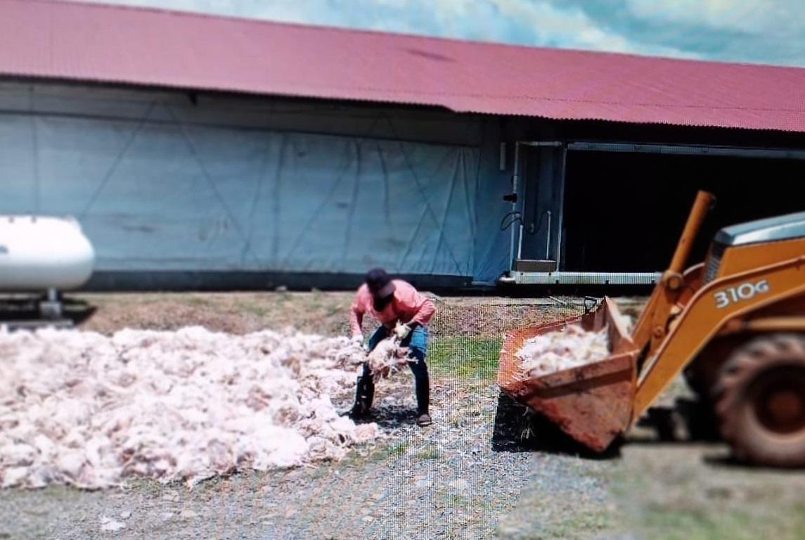 Un empleado de la finca avícola recoge los cuerpos de los pollos para sepultarlos. Foto: Eric A. Montenegro