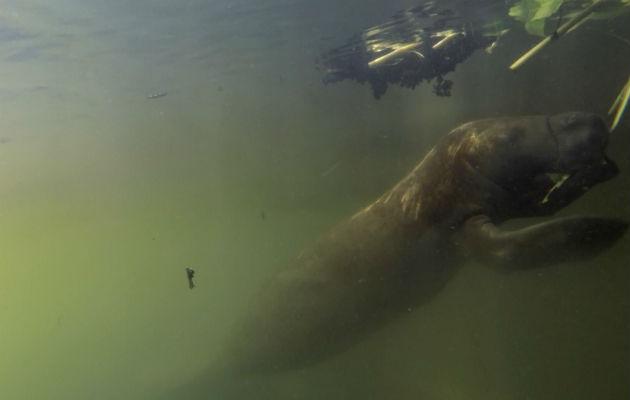Un manatí se alimenta en el área protegida de San San-Pond Sak. Imagen: Cortesía Smithsonian