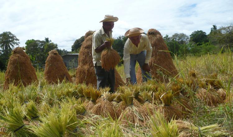 La deuda actual con productores de arroz ya ronda los 3 millones de dólares. Archivo