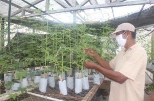 Esta semilla se certificó y fue traspasada al Instituto Nacional de Agricultura (INA), quien asumirá la tarea de su multiplicación