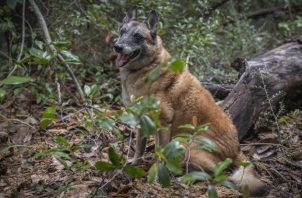 Perros detectores, como Shiraz, ayudan a localizar cuerpos en desastres. Hoy ayudan en sitios antiguos. Foto / Emily Kask para The New York Times.