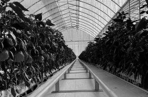 Los invernaderos son un terreno fértil para la agricultura inteligente. Integran Tecnologías de la Información y la Comunicación, automatización agrícola, sistemas de posicionamiento global. Foto: EFE.