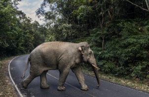 Desde que cerró el Parque Nacional Khao Yai en marzo, más animales han reclamado los senderos de los visitantes. Foto / Adam Dean para The New York Times.