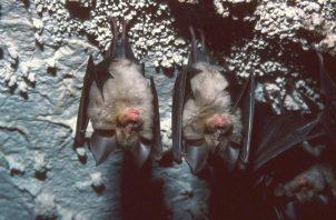 Una pareja de murciélagos descansando en una pared rocosa de una cueva.  Foto. Carlos Ruiz