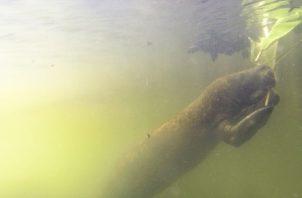 El manatí antillano vive en ríos y humedales de Bocas del Toro y la Comarca Ngäbe-Buglé, pero es común en el resto del país. Cortesía