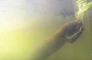 Iniciativa para la conservación de los manatíes. Foto: STRI