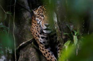 Se sospecha de traficantes chinos en el aumento de muertes de jaguares en Centro y Sudamérica. Foto / Bruno Kelly/Reuters.