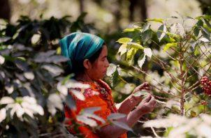 La producción obtenida será utilizada para el auto del consumo de las familias centroamericanas, así como también para la generación de ingresos. EFE