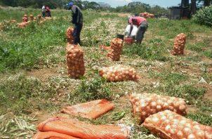 Las importaciones de cebolla fueron acordadas en 25 mil quintales en agosto y otros 25 mil quintales en septiembre.