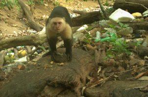 Monos carablanca. STRI