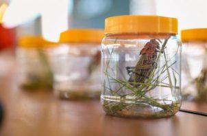 La langosta arrasa con los cultivos. Foto: EFE