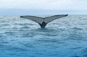 Sus crías migran desde las latitudes norte y sur. Cortesía/Anne Gordon
