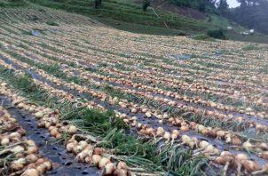 Las importaciones de cebolla fueron acordadas en 25 mil quintales en agosto y otros 25 mil quintales en septiembre, tras el consenso alcanzado en la Cadena Agroalimentaria