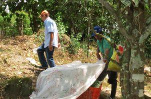 La investigación concluyó, que las especies recolectadas eran una especie de saltamontes, que son comunes en Panamá.