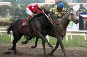 Calínico, uno de los caballos panameños que ganaron el Clásico del Caribe