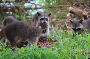 MiAmbiente hace un llamado para que eviten alimentar a los mapaches.