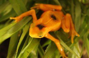 La Rana Dorada, emblemático anfibio. Cortesía