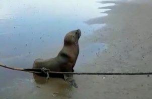 Los pescadores utilizaron sacos de arena y una cuerda para ayudar al león marino a regresar al mar.
