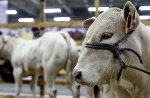 Nicaragua se ha consolidado como el líder exportador de carne bovina en Centroamérica, al vender $481 millones en 2018. EFE