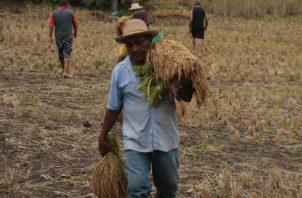 El cultivo del grano continúa siendo una de las principales actividades económicas de la que dependen muchas familias. Foto/Archivo