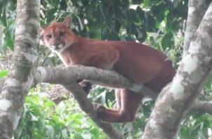 Puma visto en Divalá.