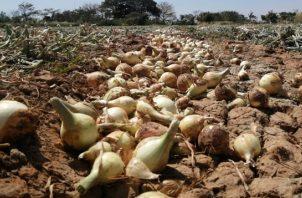 En el 2006 la producción de cebolla era de 678 mil 041 quintales, sin embargo para el 2018 esa cifra cayó a 291 mil 018 quintales. Foto/Cortesía
