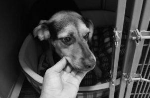 Muchos animales son rescatados y luego dados en adopción. En Panamá, los delitos de maltrato animal suman 146 casos en lo que va de este año. Foto Cortesía de David José Díaz-Díaz.