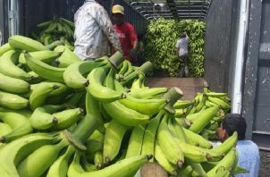 Las hectáreas de cultivo de plátano en Barú se vieron afectadas por las lluvias provocadas por el huracán Eta.