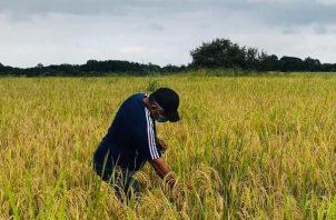 Se estima que aún faltan por cosechar unas 30 mil hectáreas, y pasado el 15 de enero en algunas provincias como Darién estarán cosechando el grano.