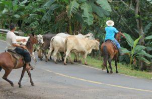El cuatrerismo se ha incrementado durante la pandemia en Panamá Oeste. Foto: Eric A. Montenegro.