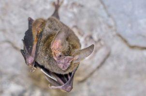 Macho adulto de 'Trachops cirrhosus'. Cortesía / Paul B. Jones (https://www.flickr.com/photos/paulbjones/)