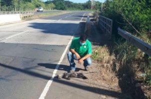 El animal fue retirado de la vía por personal de MiAmbiente. Foto: Thays Domínguez.