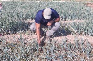 De acuerdo con el coordinador de la Cadena Agroalimentaria de papa y cebolla, Jorge Santamaría, este producto está llegando a diversos puertos del país.