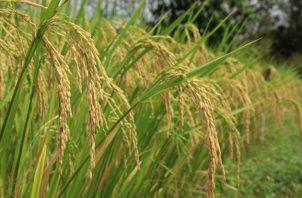 No se ha importado arroz en tiempo de cosecha. Cortesía