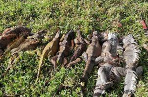 Al momento de su captura, los cazadores tenían consigo unas 9 iguanas. Foto: Diómedes Sánchez