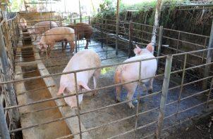 En la región de Azuero se desarrolla el 68% de la actividad porcina de Panamá. Foto/Cortesía