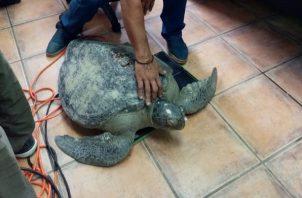 La tortuga olivácea o golfina es de la familia Cheloniidae. Foto cortesía