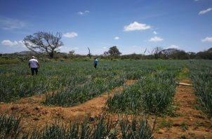 Cerca de 1 millón de dólares son pagados cada año en jornadas de trabajo durante la zafra de cebolla.