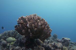 Se evaluaron los corales del Océano Pacífico. Andreas Dietzel