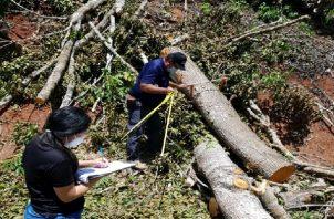 Se conoció que el ciudadano detenido había talado ilegalmente árboles de  Teca, Laurel y Caoba Nacional.